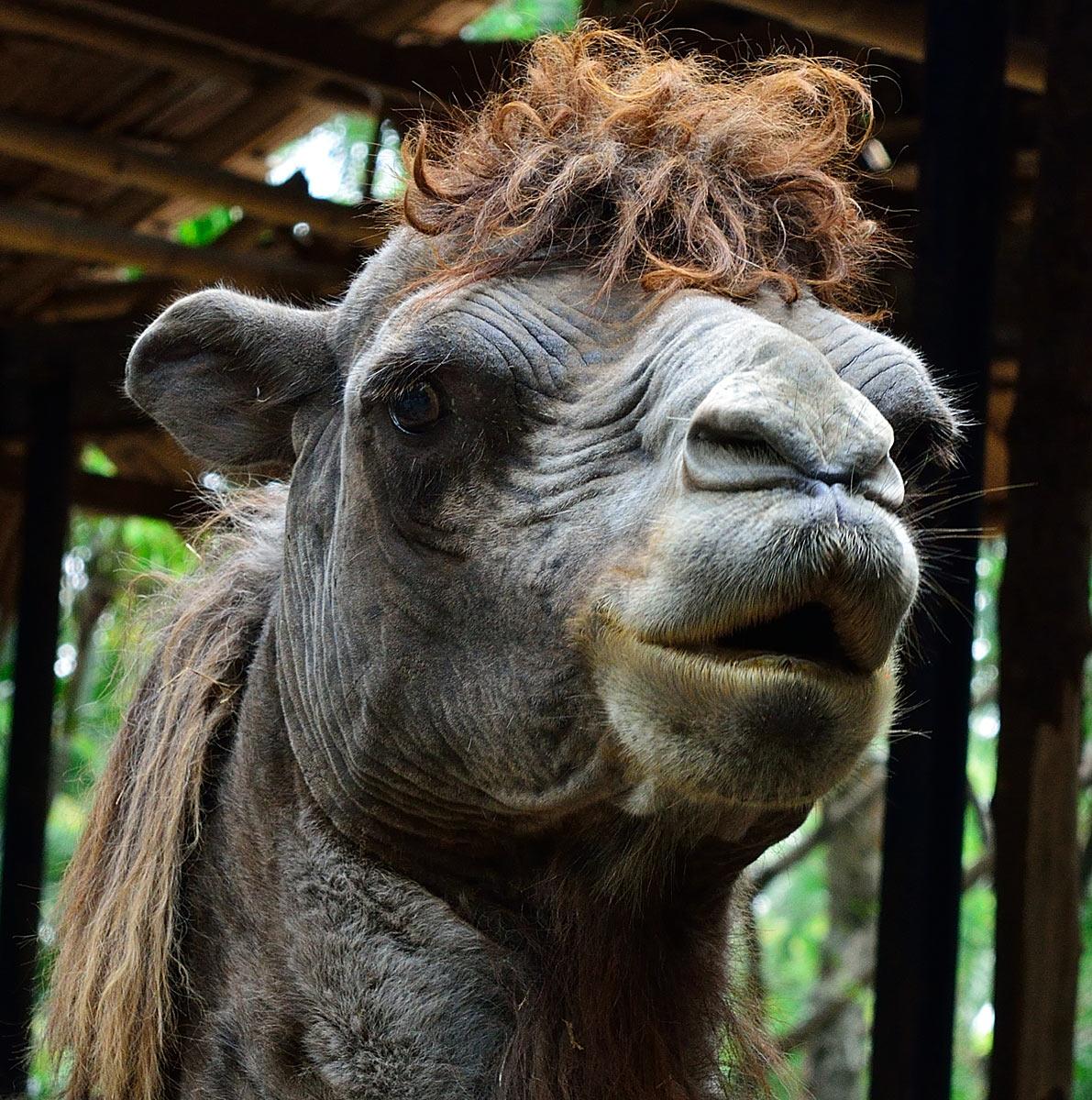 Фото верблюда с прической