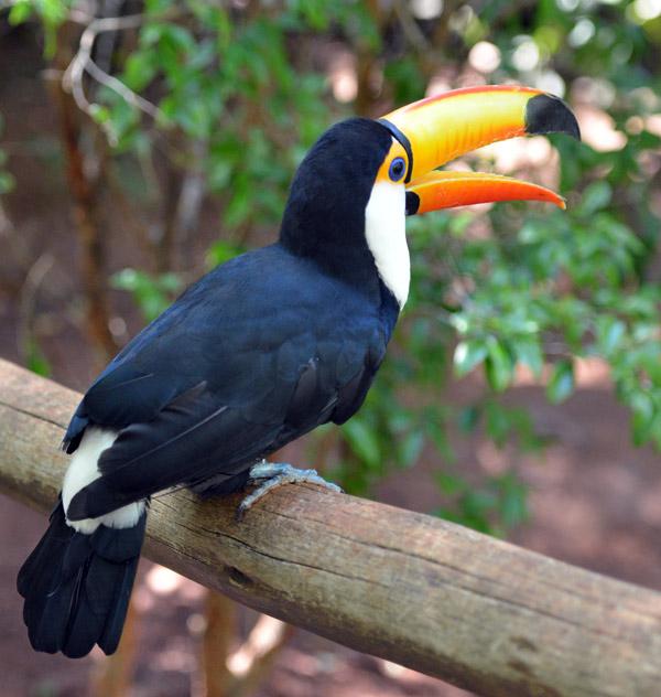 Тукан. Парк Птиц. Игуасу. Бразилия. Tucan. Bird Park. Iguacu. Brasil. 27