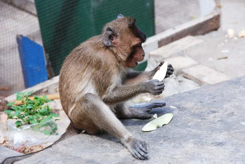 Хуа Хин. Обезьяны. Hua Hin. Monkeys. 11.