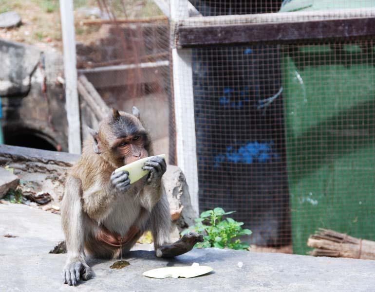 Хуа Хин. Обезьяны. Hua Hin. Monkeys. 12.