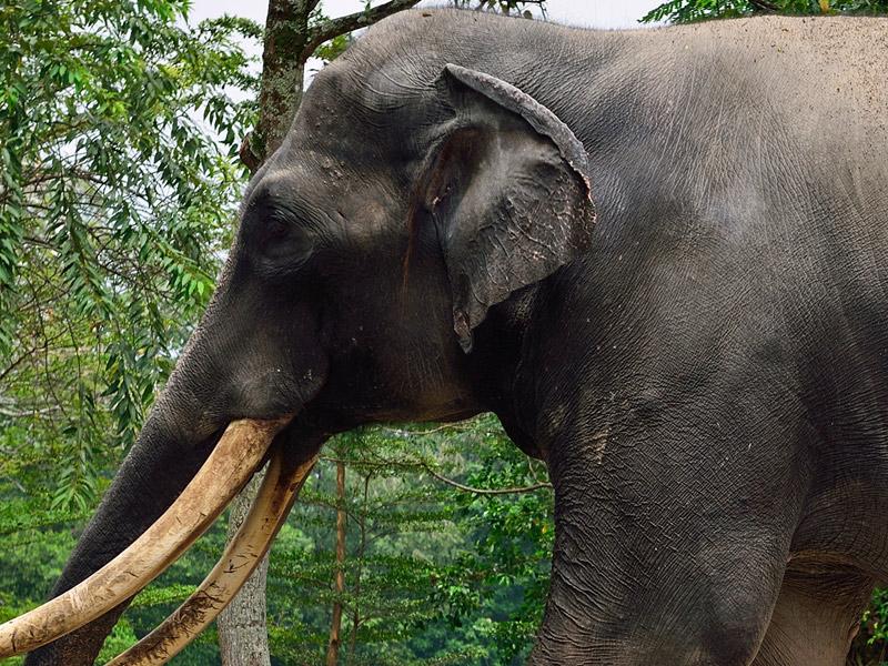 Зу Негара. Куала-Лумпур. Слон. 15