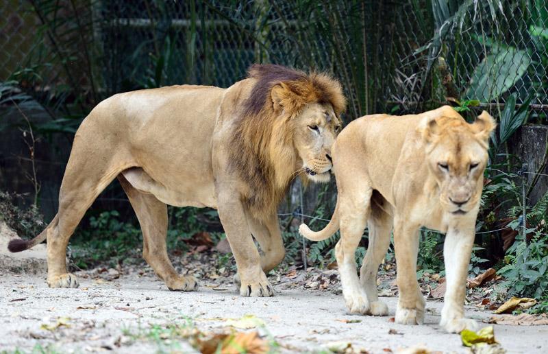 Зоопарк в Куала-Лумпуре. Лев и львица. 24