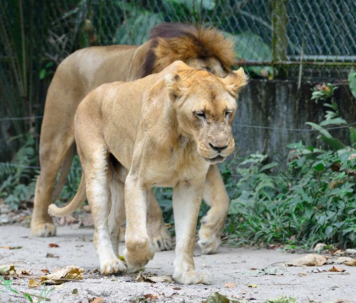 Зоопарк в Куала-Лумпуре. Лев и львица. 25
