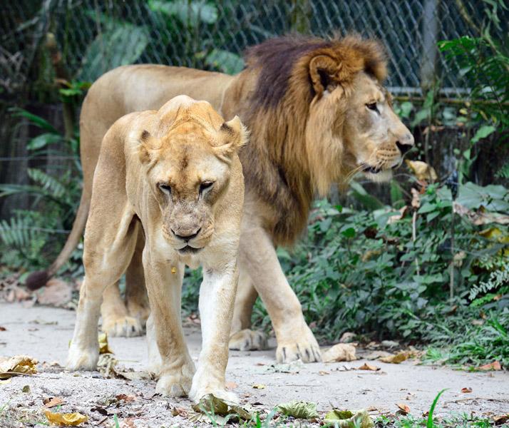Зоопарк в Куала-Лумпуре. Лев и львица. 26