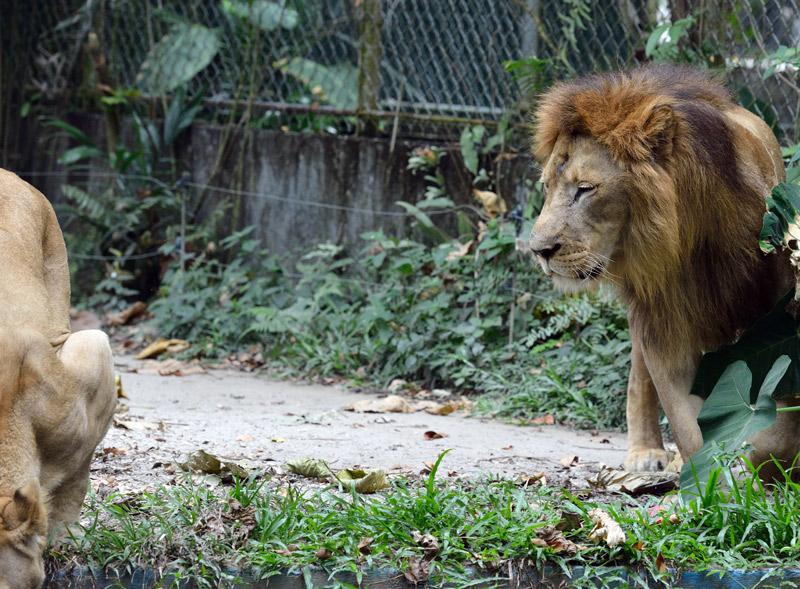 Зоопарк в Куала-Лумпуре. Лев и львица.  28