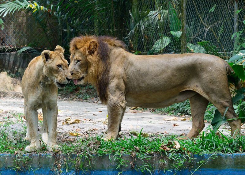 Зоопарк в Куала-Лумпуре. Лев и львица. 31