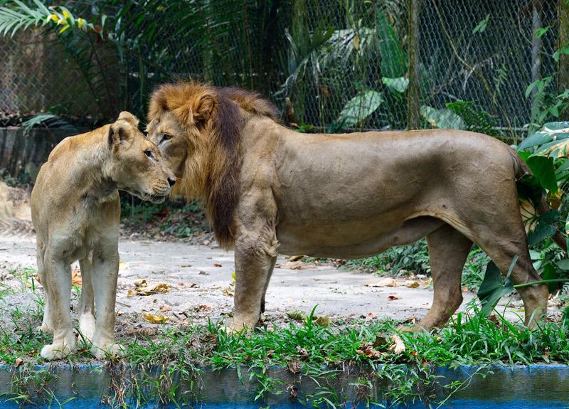 Зоопарк в Куала-Лумпуре. Лев и львица. 32