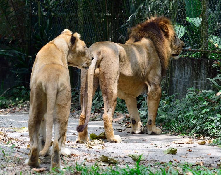 Зоопарк в Куала-Лумпуре. Лев и львица. 35