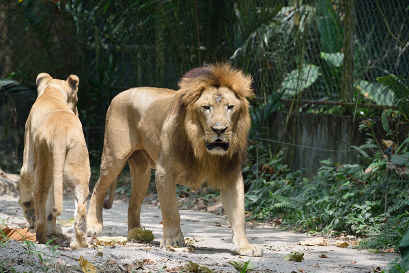 Львы в зоопарке.
