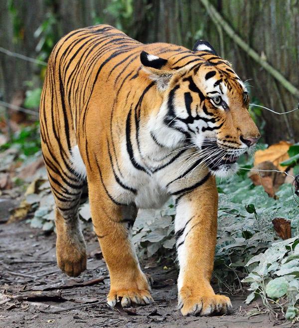 Зоопарк в Куала-Лумпуре. Тигр. 40
