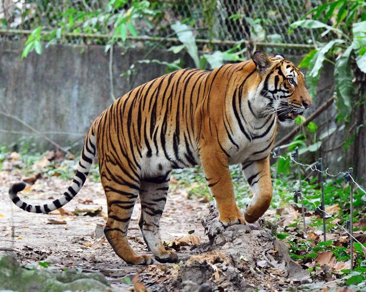Зоопарк в Куала-Лумпуре. Тигр. 42