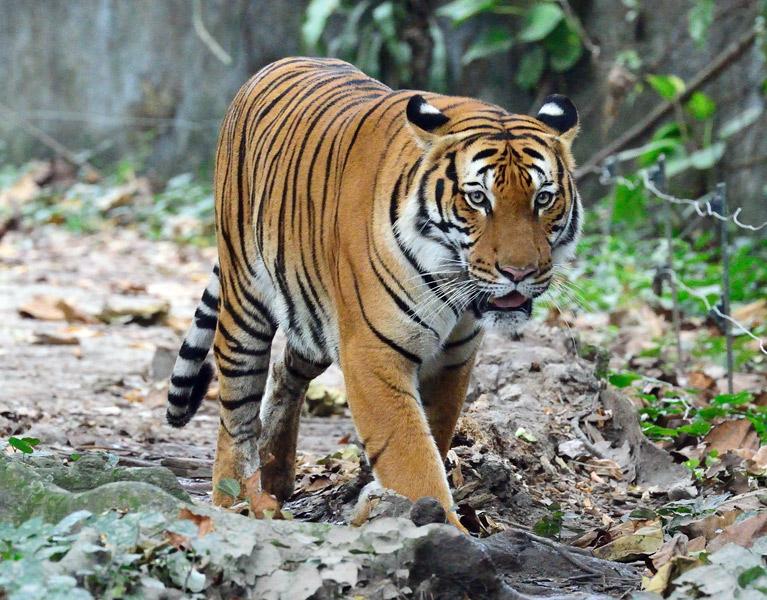 Зоопарк в Куала-Лумпуре. Тигр. 43