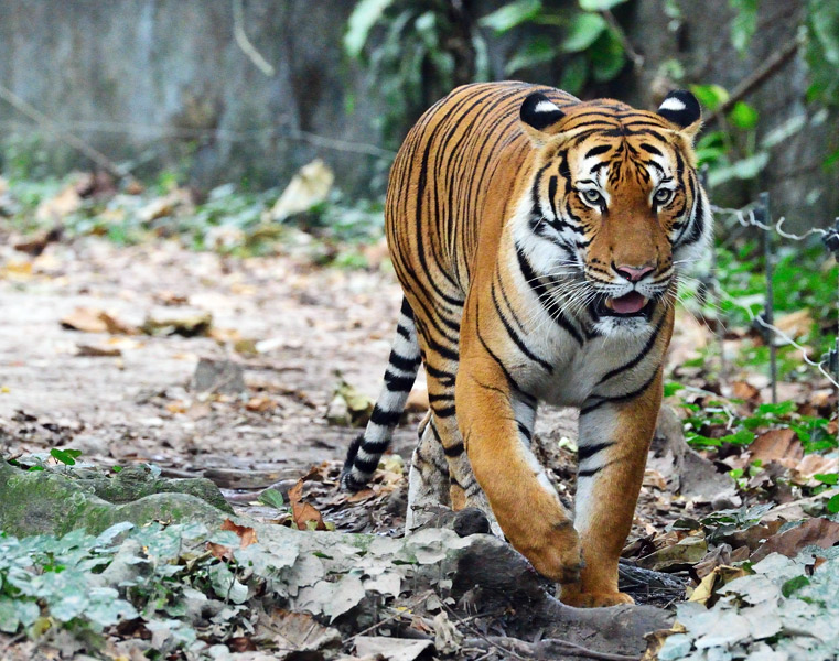 Зоопарк в Куала-Лумпуре. Тигр. 44