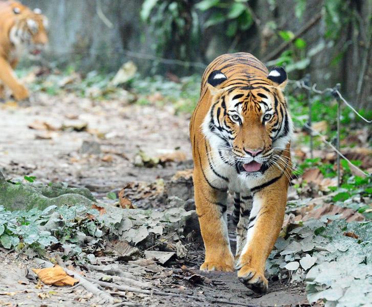 Зоопарк в Куала-Лумпуре. Тигр. 45