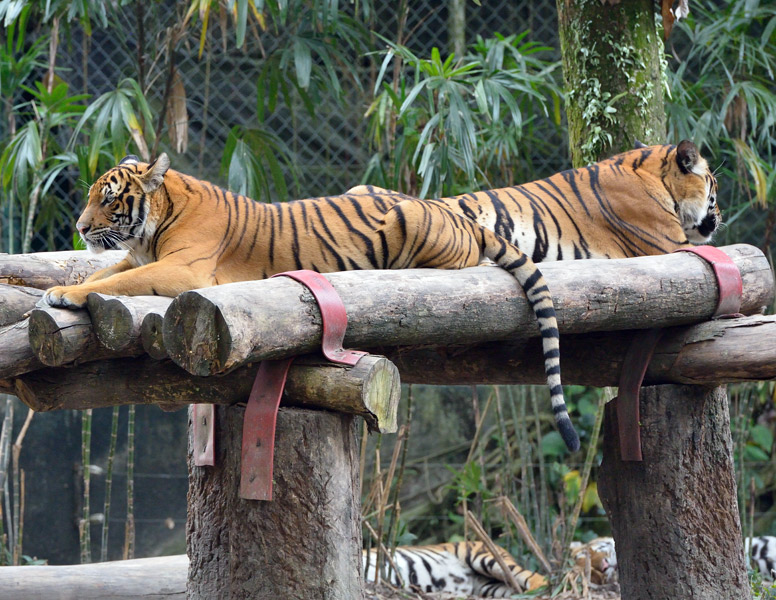 Зоопарк в Куала-Лумпуре. Тигры. 48