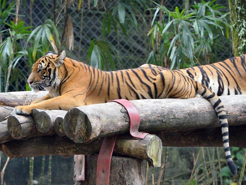 Зоопарк в Куала-Лумпуре. Тигры. 49