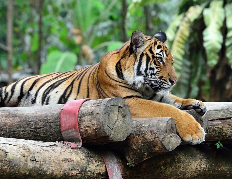 Зоопарк в Куала-Лумпуре. Тигры. 52