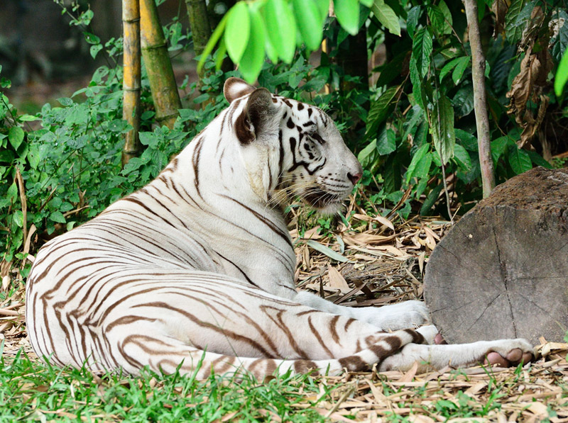 Зоопарк в Куала-Лумпуре. Белый тигр. 53