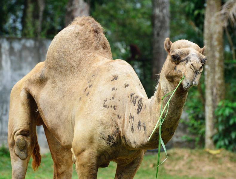 Зоопарк в Куала-Лумпуре. Верблюд. 65