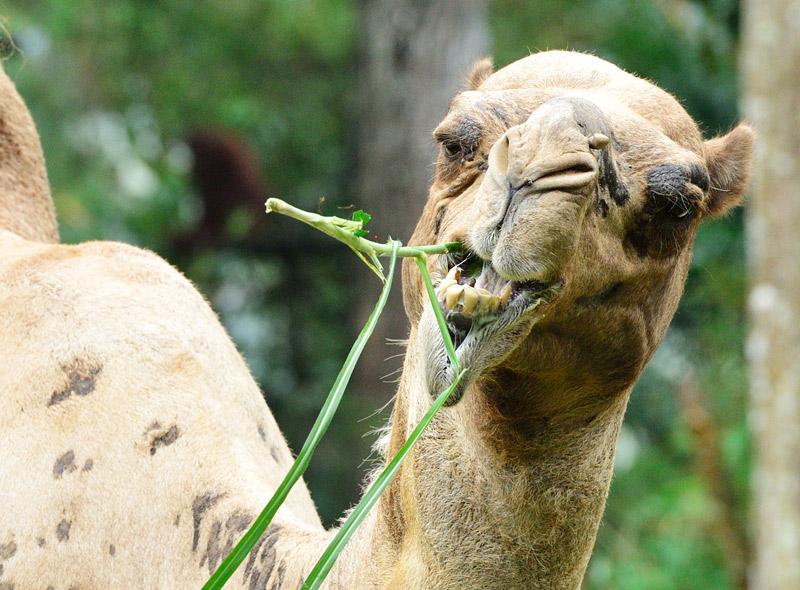 Зоопарк в Куала-Лумпуре. Верблюд. 67
