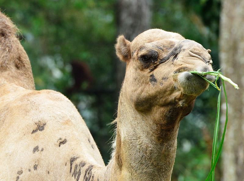 Зоопарк в Куала-Лумпуре. Верблюд. 66