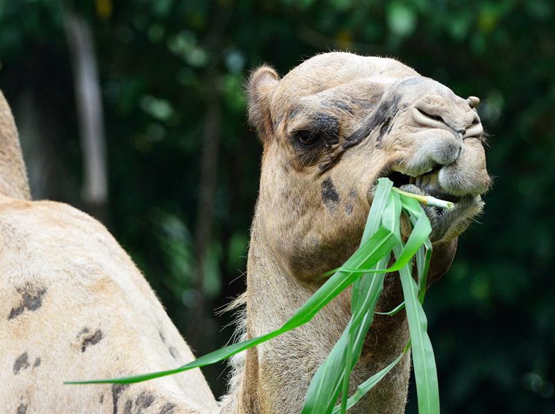 Зоопарк в Куала-Лумпуре. Верблюд. 68