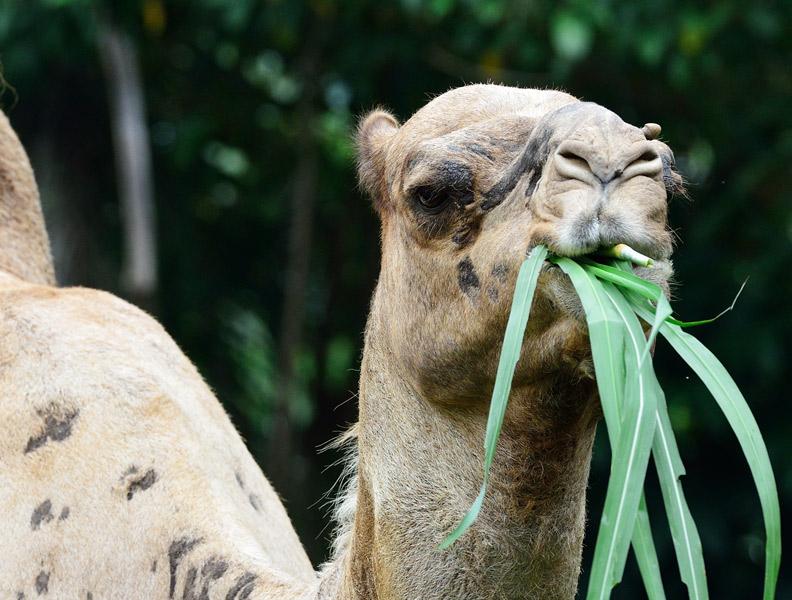 Зоопарк в Куала-Лумпуре. Верблюд. 69