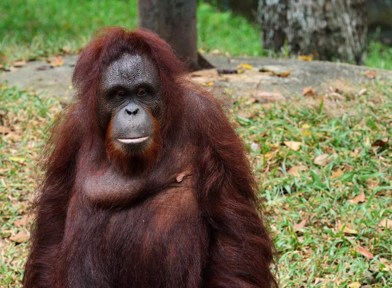 Зоопарк в Куала-Лумпуре. Обезьяна. 72