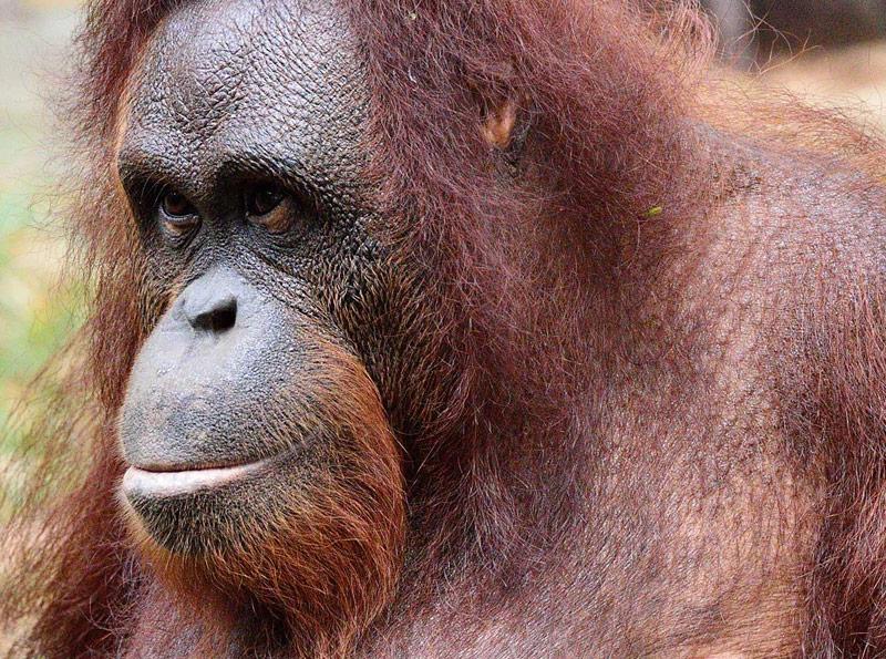 Портрет обезьяны. ЗУ Негара. Куала-Лумпур.