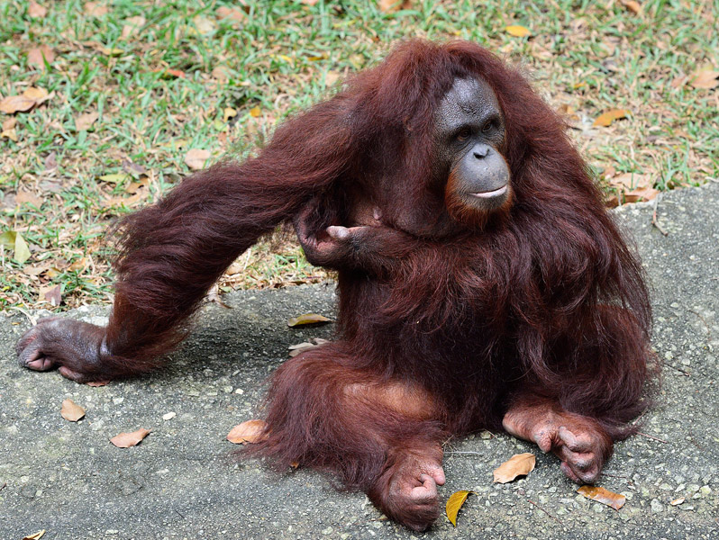 Зоопарк в Куала-Лумпуре. Обезьяна. 74