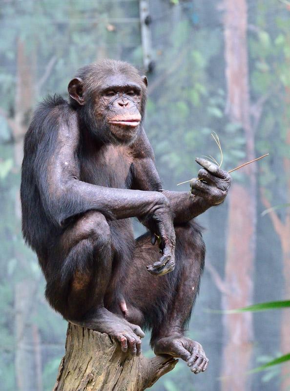 Зоопарк в Куала-Лумпуре. Обезьяна. 75