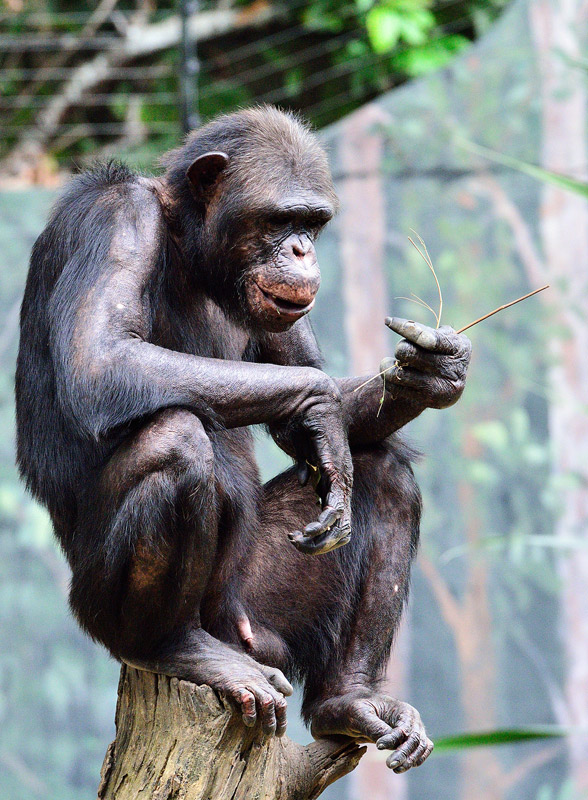 Зоопарк в Куала-Лумпуре. Обезьяна. 77