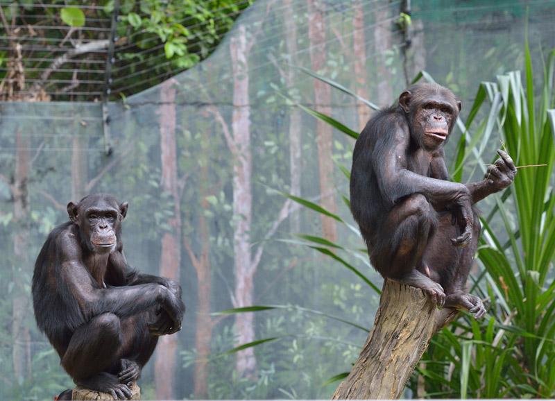 Зоопарк в Куала-Лумпуре. Обезьяны. 79