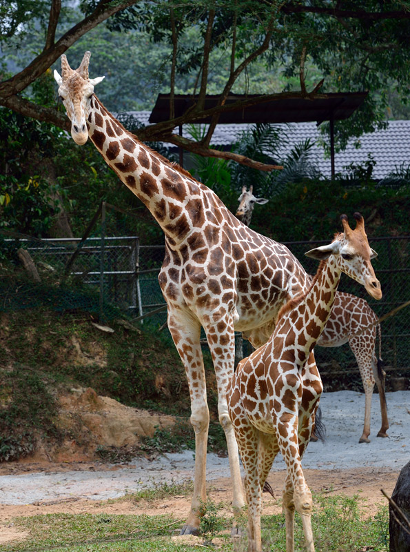 Зоопарк в Куала-Лумпуре. Жирафы. 88