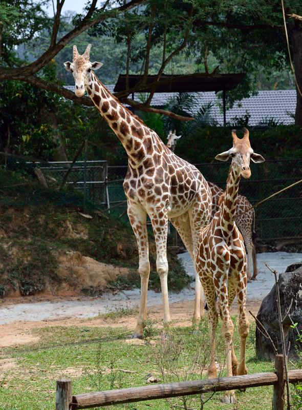 Зоопарк в Куала-Лумпуре. Жирафы. 89
