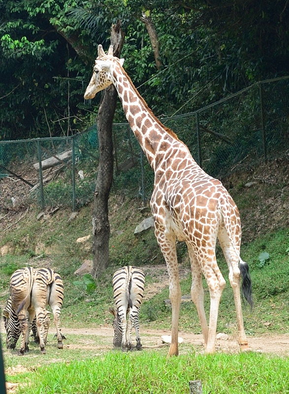 Зоопарк в Куала-Лумпуре. Жираф и зебры. 90