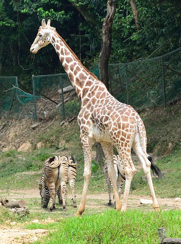 Зоопарк в Куала-Лумпуре. Жираф и зебры. 91