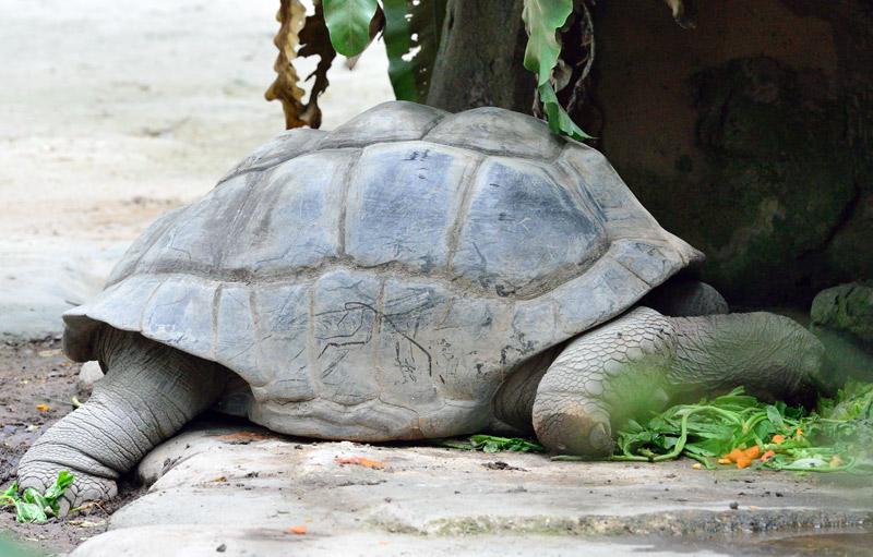 Зоопарк в Куала-Лумпуре. Черепаха. 97