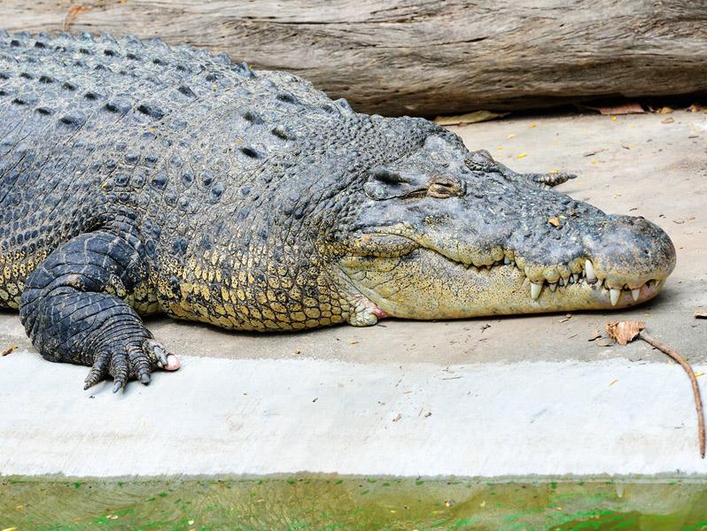 Зоопарк в Куала-Лумпуре. Крокодил. 104