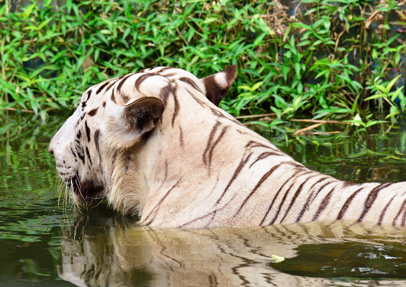 Зоопарк в Куала-Лумпуре. Белый тигр. 106