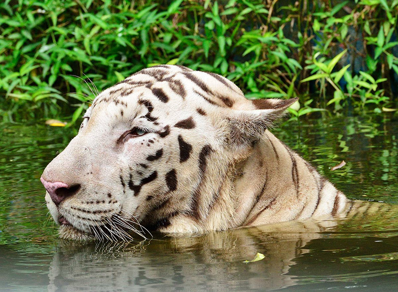 Зоопарк в Куала-Лумпуре. Белый тигр. 108