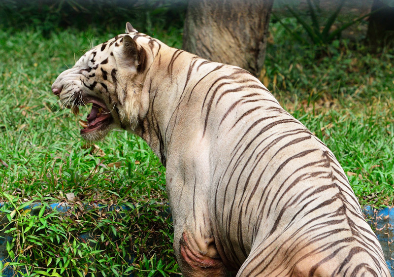 Зоопарк в Куала-Лумпуре. Белый тигр. 109