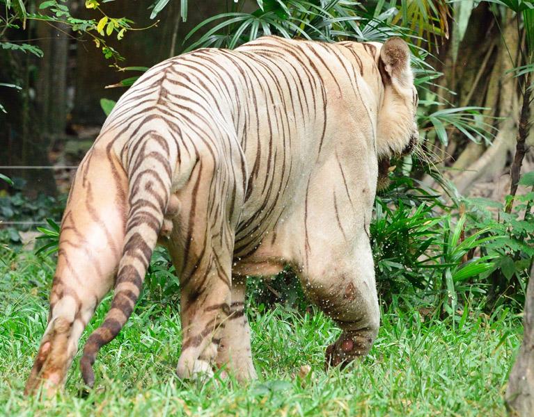 Зоопарк в Куала-Лумпуре. Белый тигр. 110