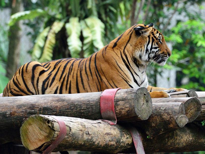 Зоопарк в Куала-Лумпуре. Тигры. 115