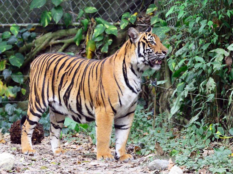 Зоопарк в Куала-Лумпуре. Тигры. 112