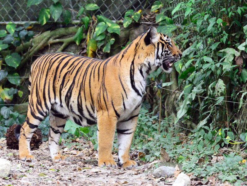 Зоопарк в Куала-Лумпуре. Тигры. 113