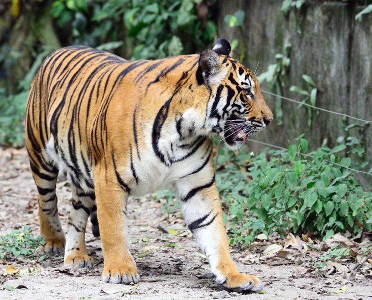 Зоопарк в Куала-Лумпуре. Тигры. 114
