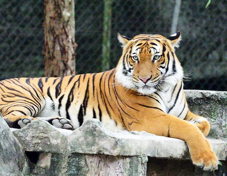 Тигр. Для форума.