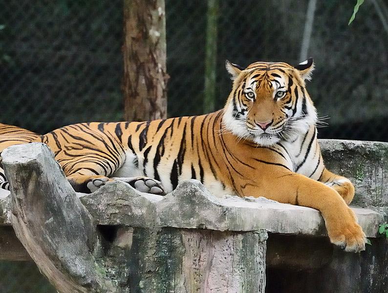 Зоопарк в Куала-Лумпуре. Тигры. 116