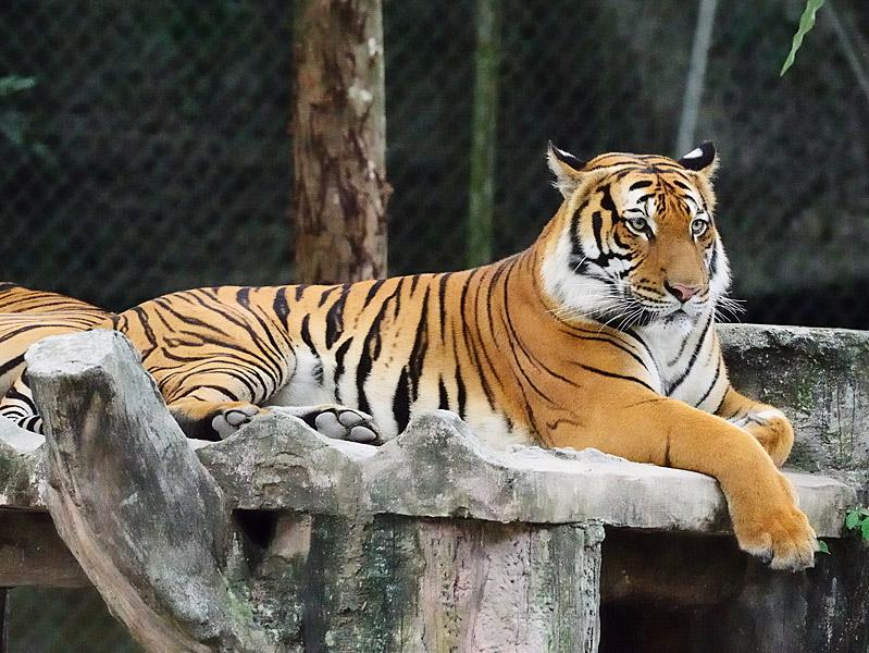 Зоопарк в Куала-Лумпуре. Тигры. 117